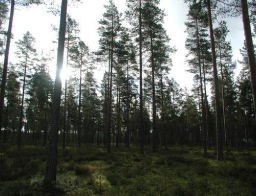 A finn erdők