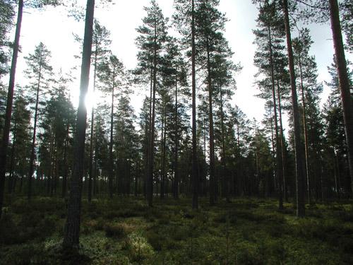 Finn erdő